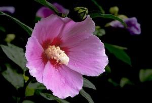 he Korean national flower, mugunhwa