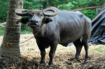 All-lights Village to Donate Carabaos for Village Development