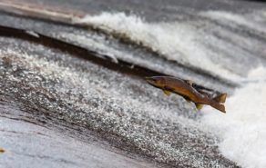 Salmon Fish-example of Reflecting Nature laws