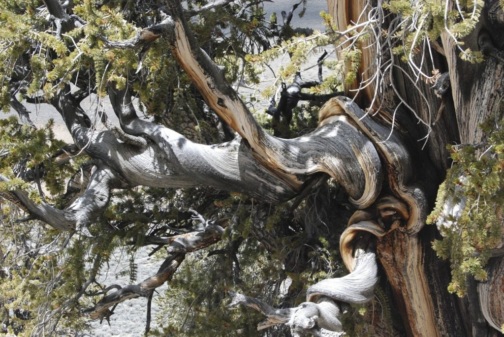 Gnarled branches of Bristle-cone pine, nature